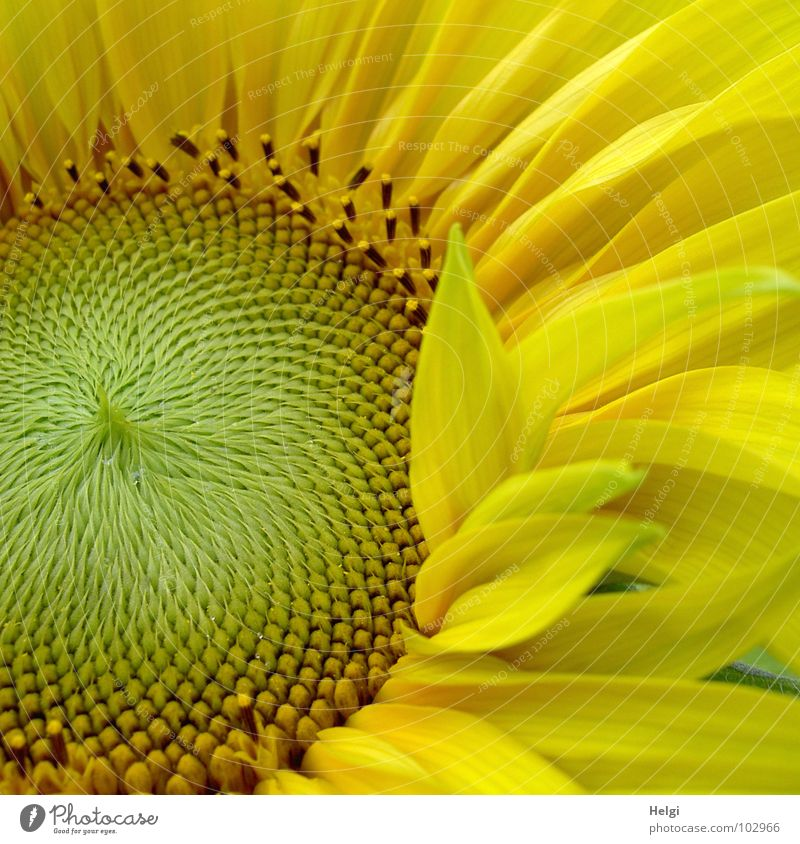 Detail of a sunflower with excellent petals Sunflower Blossom Flower Blossom leave Yellow Green Brown Kernels & Pits & Stones Summer July Brilliant Pattern