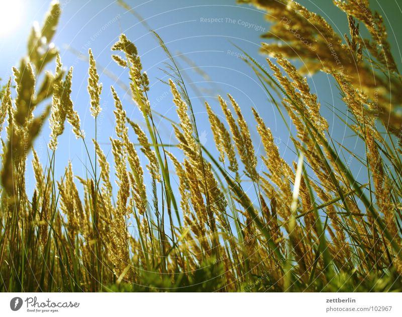meadow Grass Meadow Summer Sweet grass Wind Dream Peace wild grass Lie Back woolly honeygrass holcus lanacus sheep's fescue festuca ovina blue moor grass