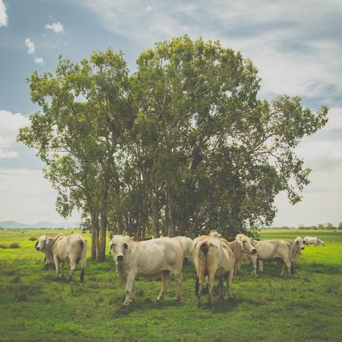 Nature Green Tree Healthy Eating Natural Happy Fresh Nutrition Stand Group of animals Serene Pasture Organic produce Sustainability Cow Meat
