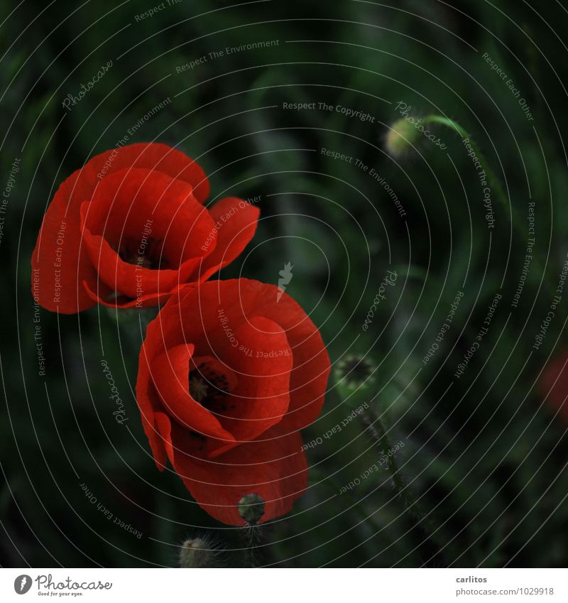 Day of the month 1 Poppy Red Flower Blossom Seed Blossom leave Green Dark