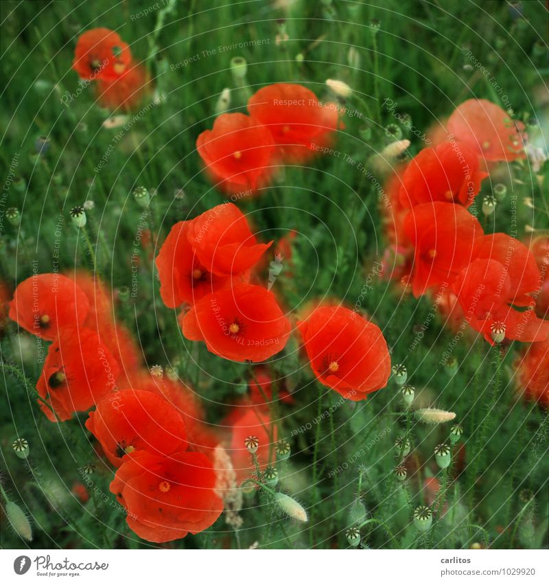 Day of the month 2 Poppy Red Flower Blossom Capsule Blossom leave Green Blur Double exposure