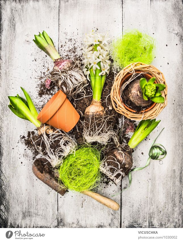 Onions and buds of hyacinth, shovel and flower pots Style Design Garden Decoration Nature Plant Spring Flower Bouquet Composing Gardening Spring flower