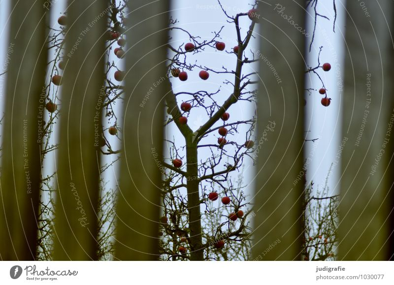 winter apple Environment Nature Plant Winter Tree Garden Fence To dry up Growth Natural Gloomy Apple Apple tree Harvest Colour photo Exterior shot Deserted