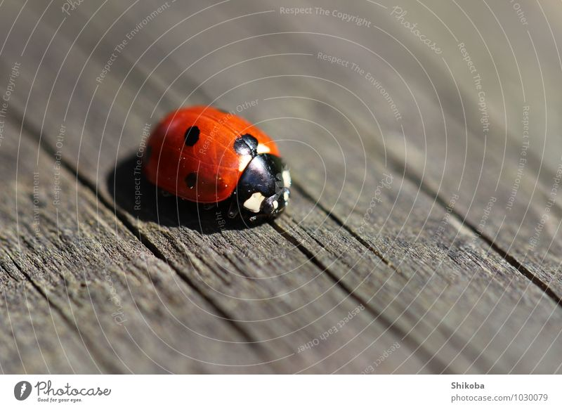 ladybug Animal Beetle 1 Crawl Small Red Black Happy Ladybird Point Colour photo Exterior shot Macro (Extreme close-up) Deserted Copy Space right Copy Space top