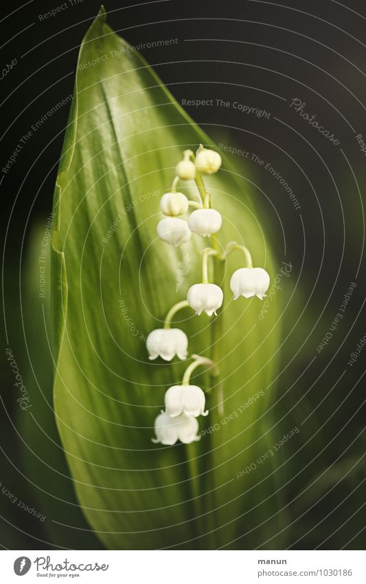lily of the valley Healthy Nature Spring Plant Flower Blossom Lily of the valley Spring flower Poisonous plant Fragrance Threat Dangerous May Colour photo