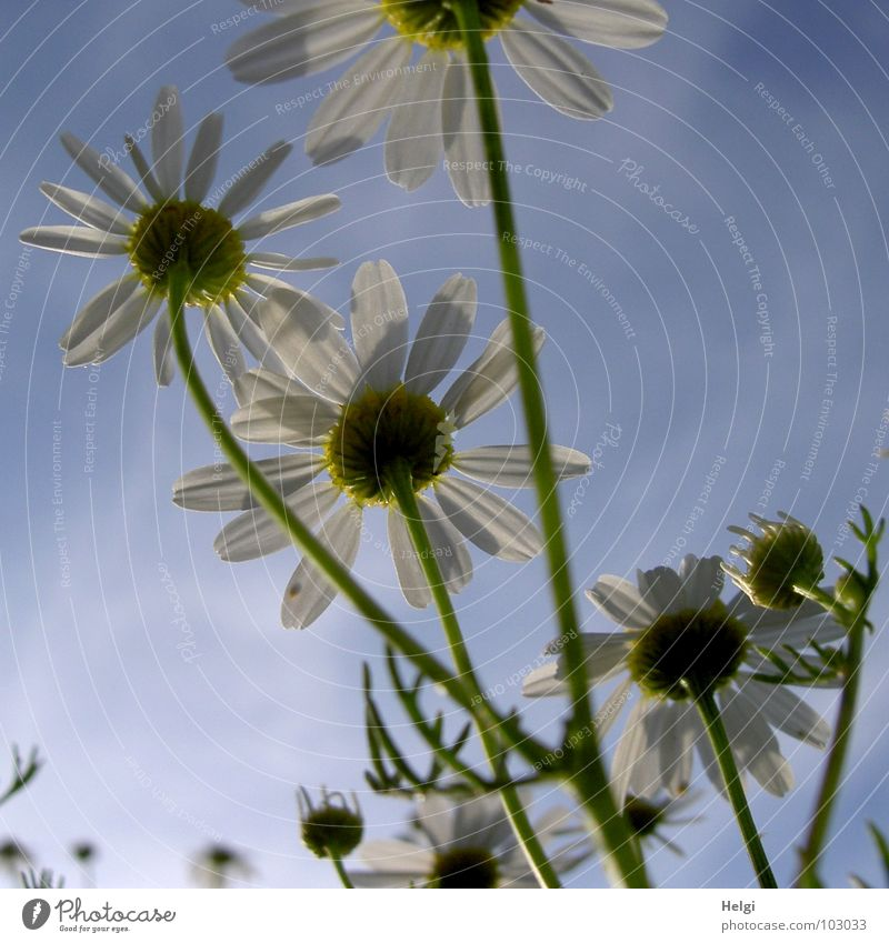 Close-up of margarites from the frog's eye view in front of a blue sky Flower Blossom Chamomile Blossom leave Stalk Clouds Green White Yellow Blossoming Field