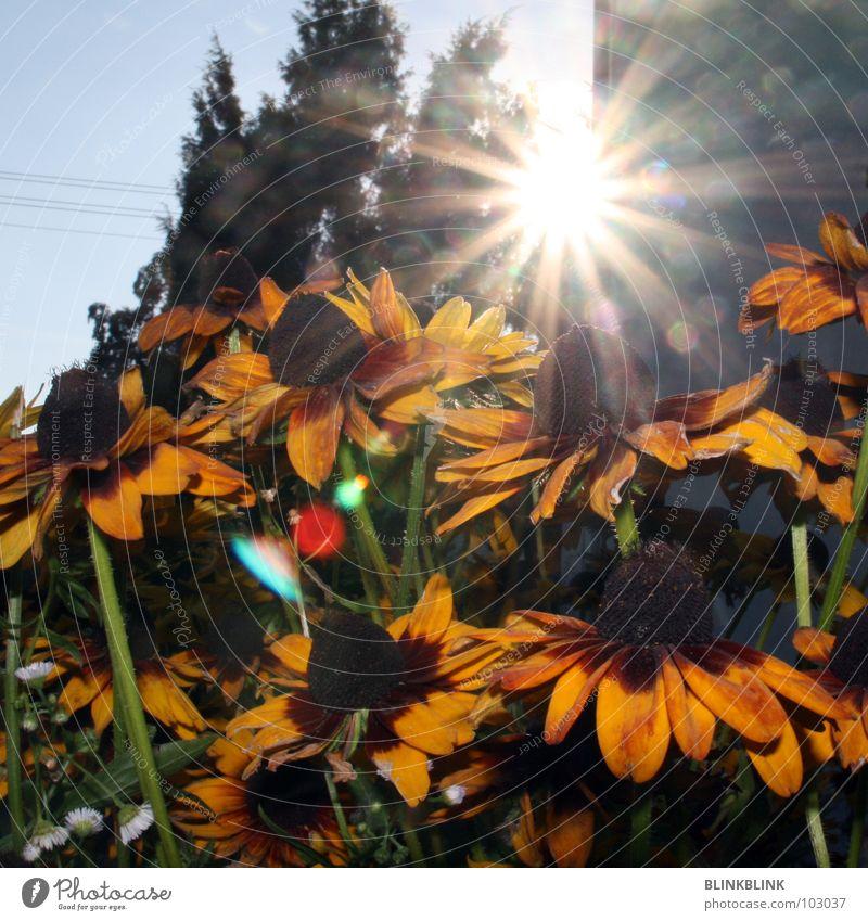 sunflowers Flower Sunflower Yellow Summer Green Beautiful Blossom Plant Aperture Lighting Dazzle Nature Sky Blossoming Blue Sunhat shine nice pretty bloom