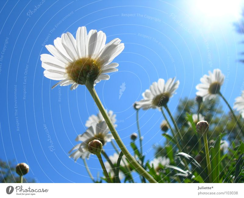 Beautiful Sky White Sun Flower Green Blue Summer Lighting Sweet Against Beetle
