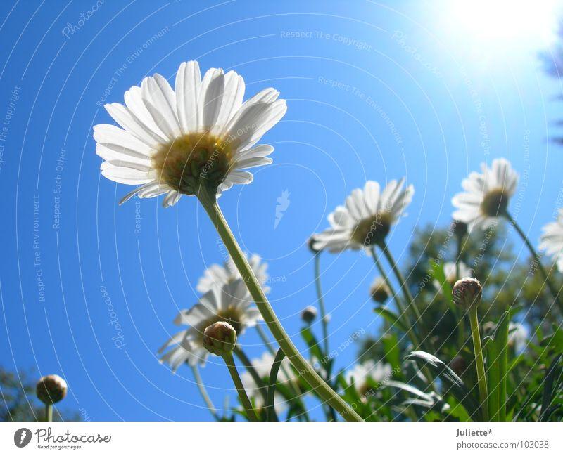Beetle perspective III Flower Sweet Beautiful White Green Against Lighting Summer magarites Blue Sun Sky