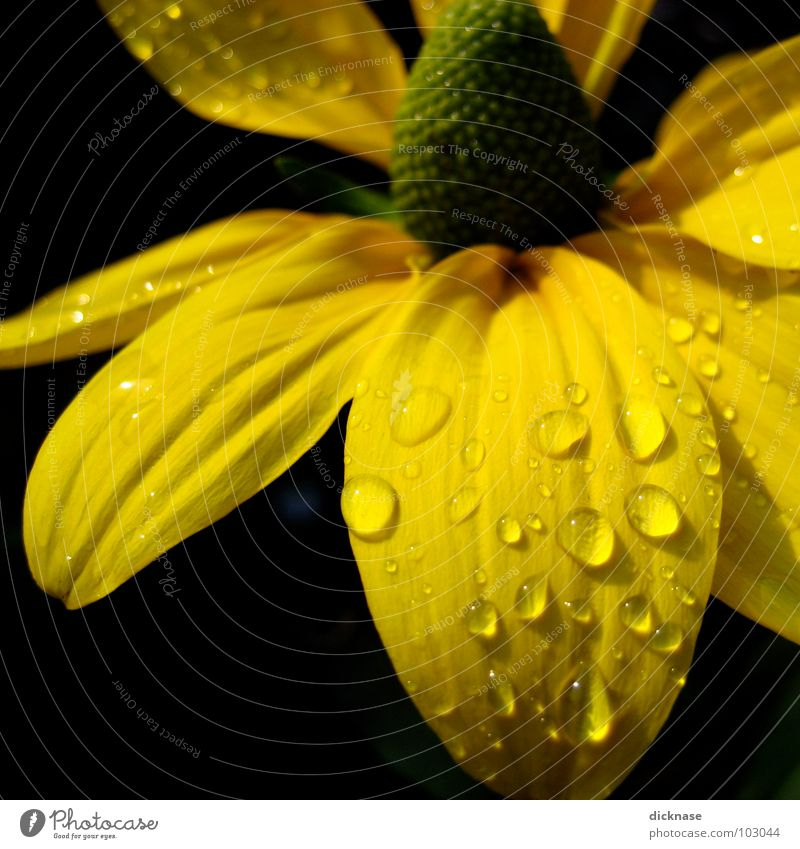 Water Flower Summer Black Yellow Drops of water Rope Wrinkles Flower power