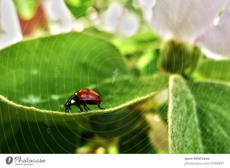 a long way Animal Leaf Blossom Apple tree Apple tree leaf Beetle Ladybird Fresh Glittering Natural Green Red Calm Endurance Colour photo Close-up