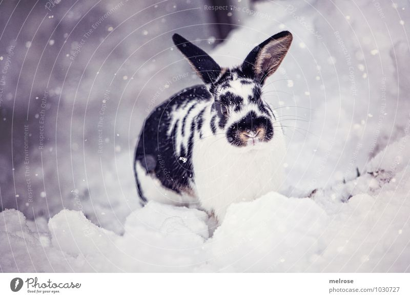 Snow hare Flecki Environment Winter Beautiful weather Snowfall Pet Pelt Pygmy rabbit Mammal Rodent Hare ears Snout moustache harp Hare & Rabbit & Bunny