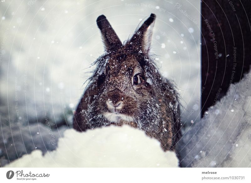Snow hare Schnuffi Environment Nature Winter Snowfall Pet Animal face Pelt Pygmy rabbit Lion's head Hare ears Snout Whisker Rodent Easter Bunny