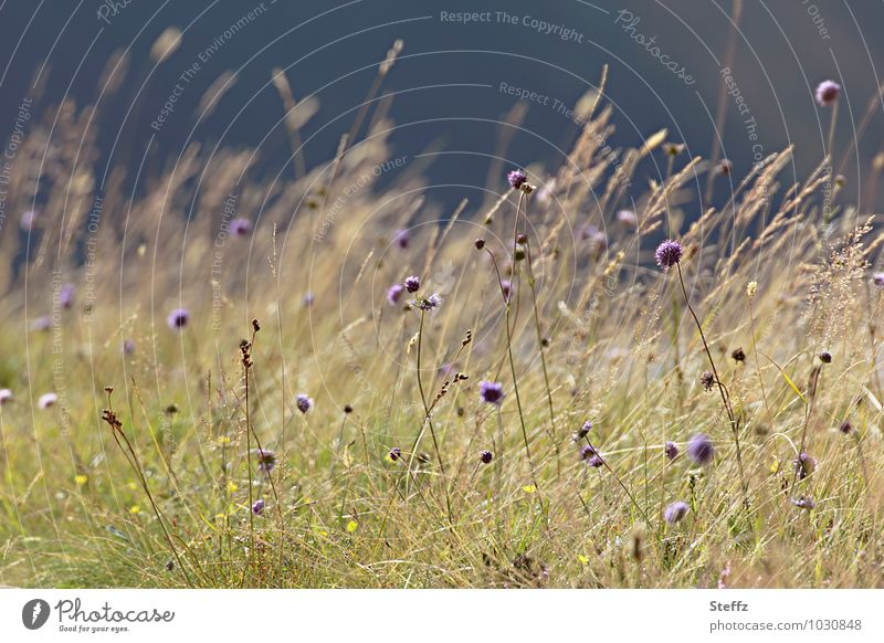 Nature Plant Summer Flower Landscape Yellow Meadow Grass Wind Climate Thin Violet Scotland North Wild plant Nordic