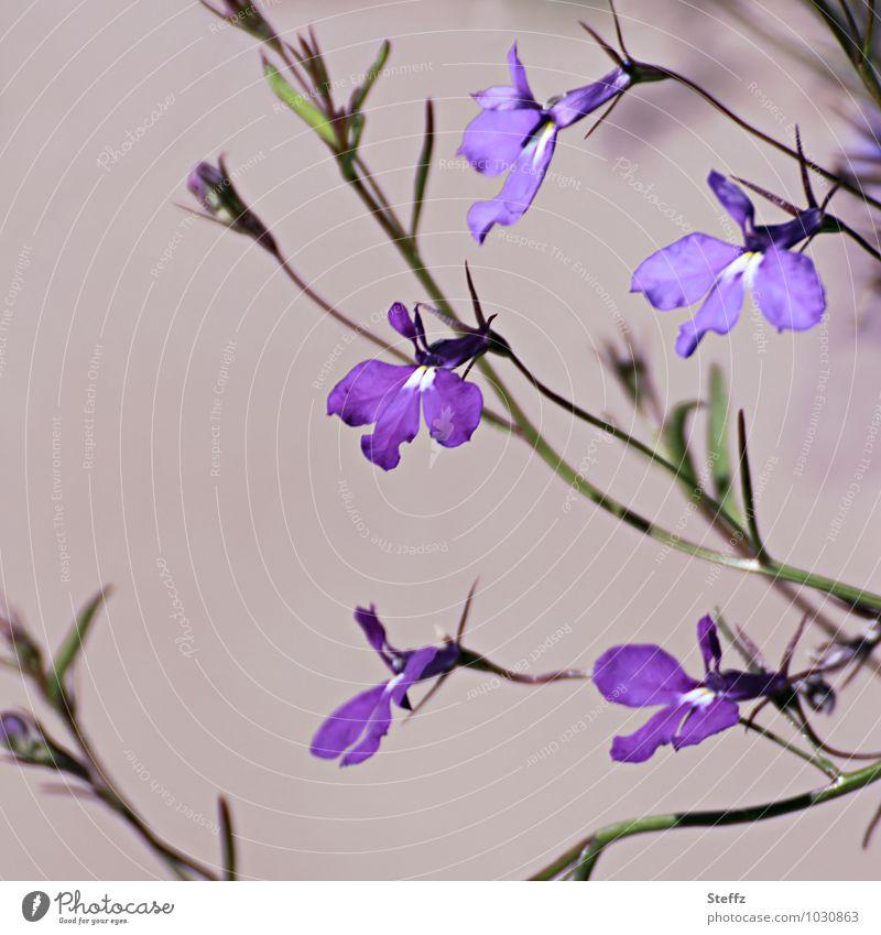 Violets in Scotland violet viola flowering violets Scottish nature Nordic nature Nordic plants Nordic wild plants knapweed Purple flowers fine flowers