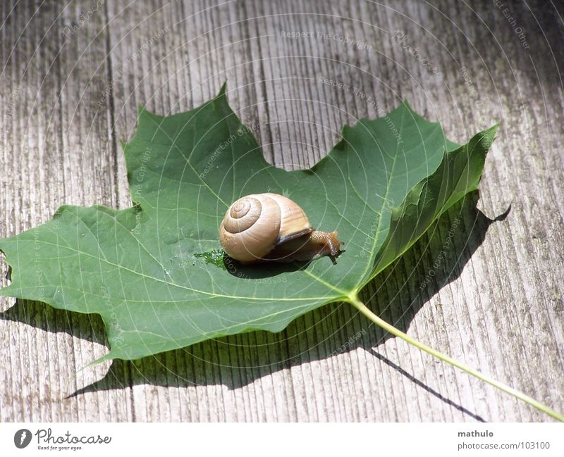 Green Island Snail shell Leaf Slowly Speed Crawl Mollusk Nature Close-up Garden Exterior shot