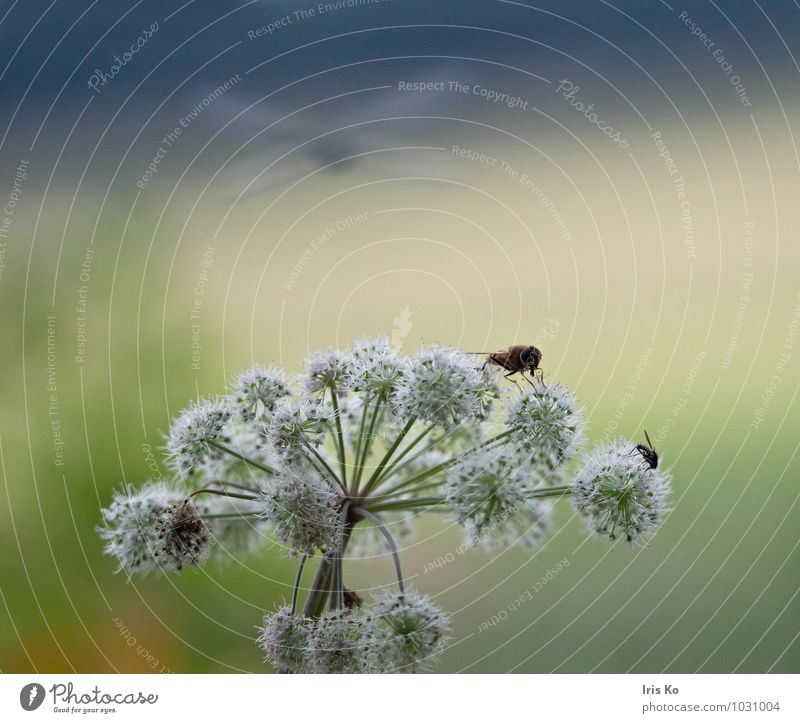 summertime Nature Landscape Plant Animal Sunlight Summer Beautiful weather Flower Umbellifer Meadow Wild animal Fly Wing Dragonfly Hover fly 3 Blossoming Flying