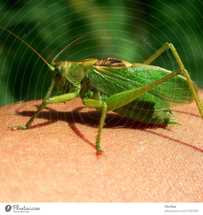 Green Summer Animal Jump Grass Legs Insect Living thing Feeler Hop Locust Northern Forest House cricket Great green bushcricket Long-horned grasshopper