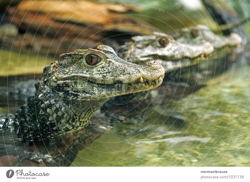 caimans Animal Wild animal Scales Caiman Reptiles tank lizard Saurians 3 Observe Exotic Green Crocodiles Colour photo Interior shot Close-up Copy Space right