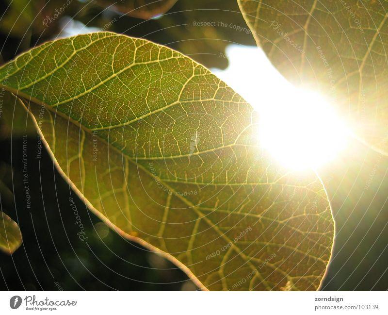 sun leaf Leaf Tree Bushes Dusk Green Summer Vessel Pattern Back-light Relaxation Foliage plant Garden Park Sun Evening
