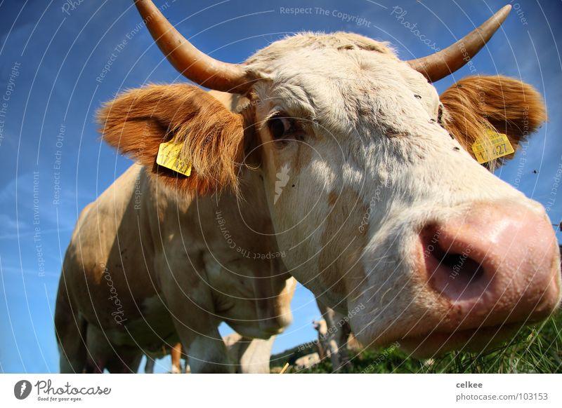 From diagonally below Cow Mammal Antlers Sky Blue Nose Flying Eyes