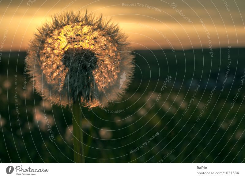 dandelion Environment Nature Landscape Plant Sky Clouds Horizon Sun Sunrise Sunset Sunlight Summer Beautiful weather Flower Wild plant Dandelion Field Meadow