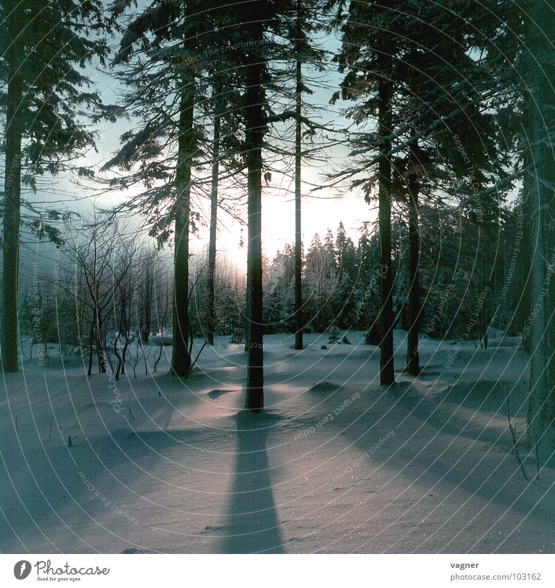 Sunset Winter Forest Tree Snow Shadow Evening