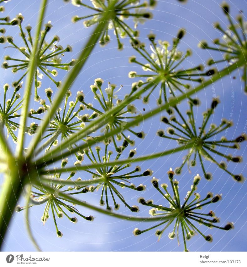 Stem with flowers of a wild carrot from the frog's eye view in front of a blue sky Flower Blossom Plant Meadow Wayside Blossoming Towering Stalk Green White