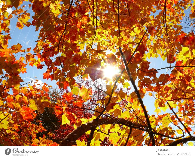 leaf canopy Environment Nature Elements Sun Sunlight Autumn Climate Beautiful weather Warmth Plant Tree Agricultural crop Garden Park Forest Emotions Moody Joy