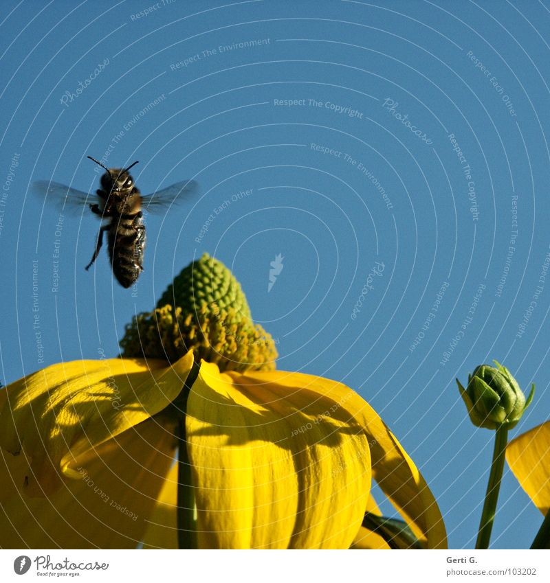 vertical take-off plane Hover Jump Happiness Multicoloured Feeler Vertical Harrier Honey Bumble bee Bee Yellow Sky Blue sky Bee-keeper Striped Black Insect