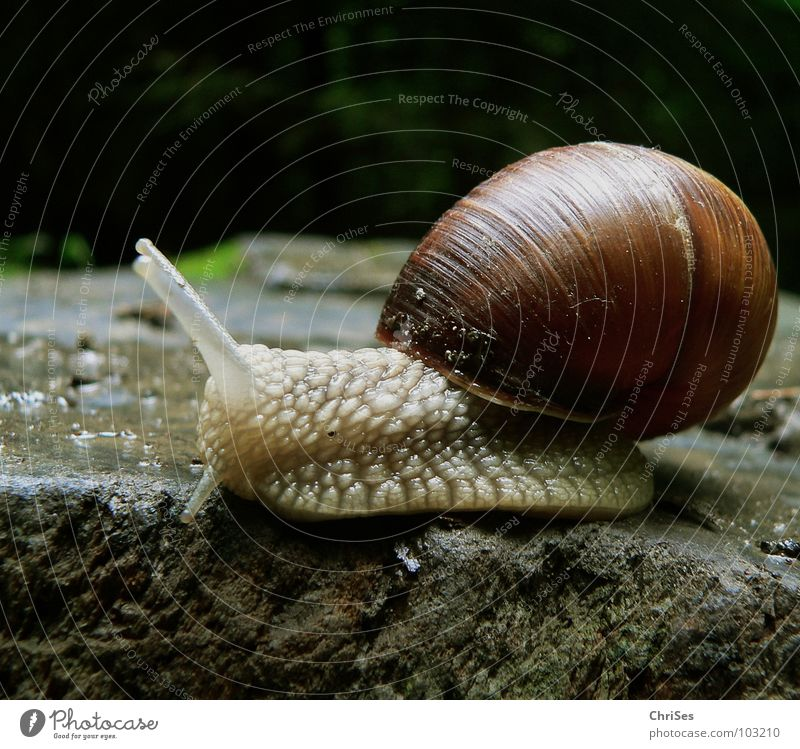 House (Residential Structure) Animal Garden Stone Park Brown Snail Feeler Crawl Slowly Slimy Mucus Glade Vineyard snail