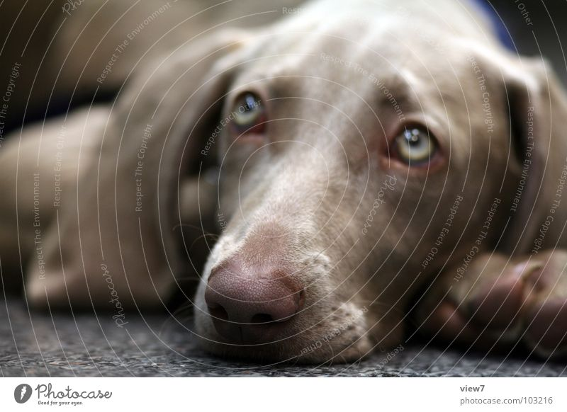 Eyes Dog Small Nose Lie Sweet Ear Fatigue Mammal Snout Loyalty Puppy Animal