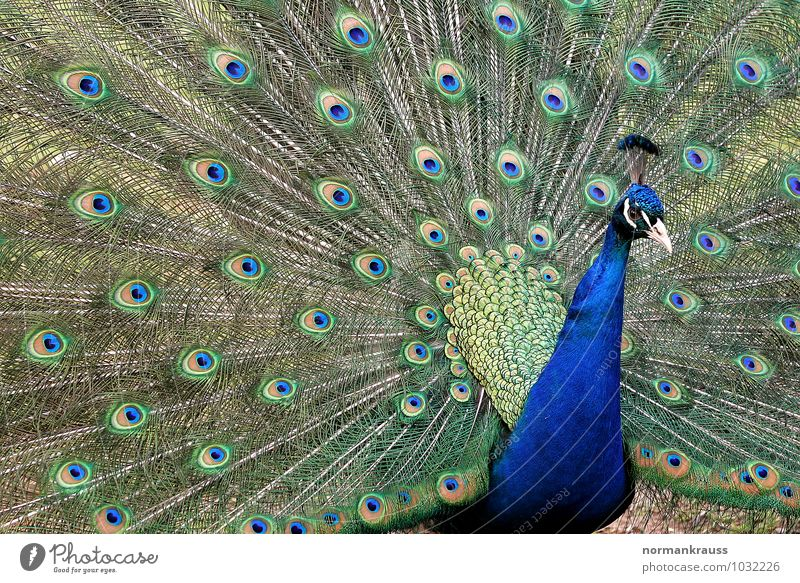 peacock Animal Bird Peacock chicken birds Peacock feather 1 Rutting season Colour photo Exterior shot Close-up Day Central perspective