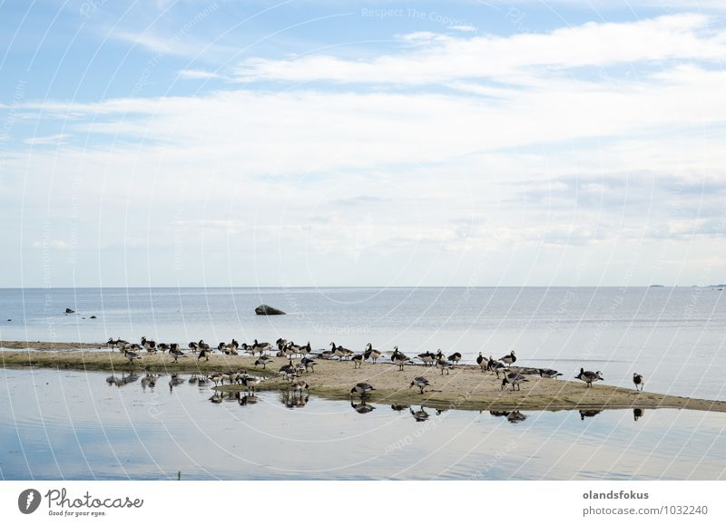 Wild Barnacle geese at a small island by the coast Playing Island Environment Nature Animal Sand Baltic Sea Bird Feeding Stand Black branta Ecological Europe