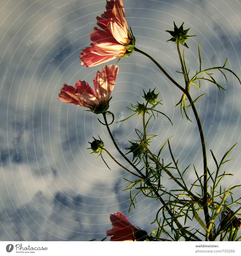 Beautiful Sky Flower Plant Clouds Blossom Garden Warmth Garden Bed (Horticulture) Delicate Cosmos Evening sun Flowerbed