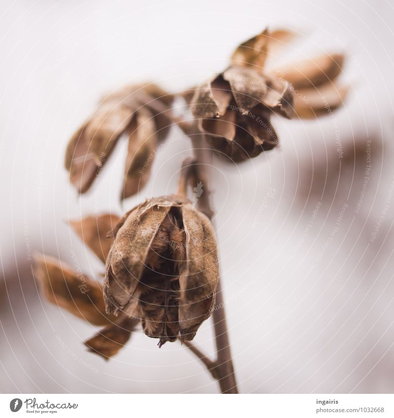 Ephemeral Nature Plant Winter Mallow plants Seed Twig Hang To dry up Old Exceptional Natural Round Gloomy Dry Brown Gray White Moody Hope Belief Grief Sadness