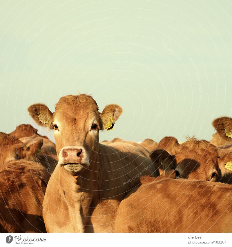 Multiple Ear Curiosity Agriculture Cow Americas Pasture Animal Mammal Denmark Cattle Livestock Country life