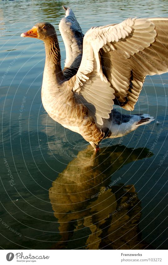 Nature Water Beautiful Animal Lake Contentment Bird Flying Free Posture Feather Wing Duck Beak Goose Rutting season