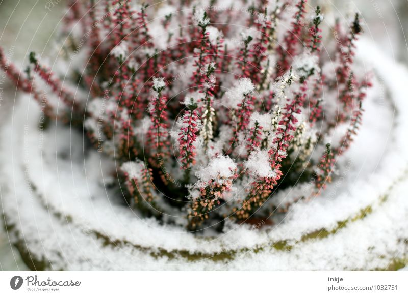 ice cabbage Nature Plant Winter Weather Ice Frost Flower Blossom Heather family Blossoming Freeze Cold Pink Red White Climate Snow Colour photo Exterior shot