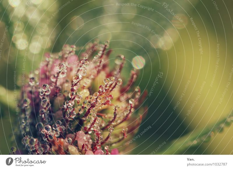 droplet invasion Nature Plant Drops of water Autumn Grass Leaf Blossom Foliage plant Clover Garden Fresh Wet Green Pink Dew Morning Colour photo Multicoloured