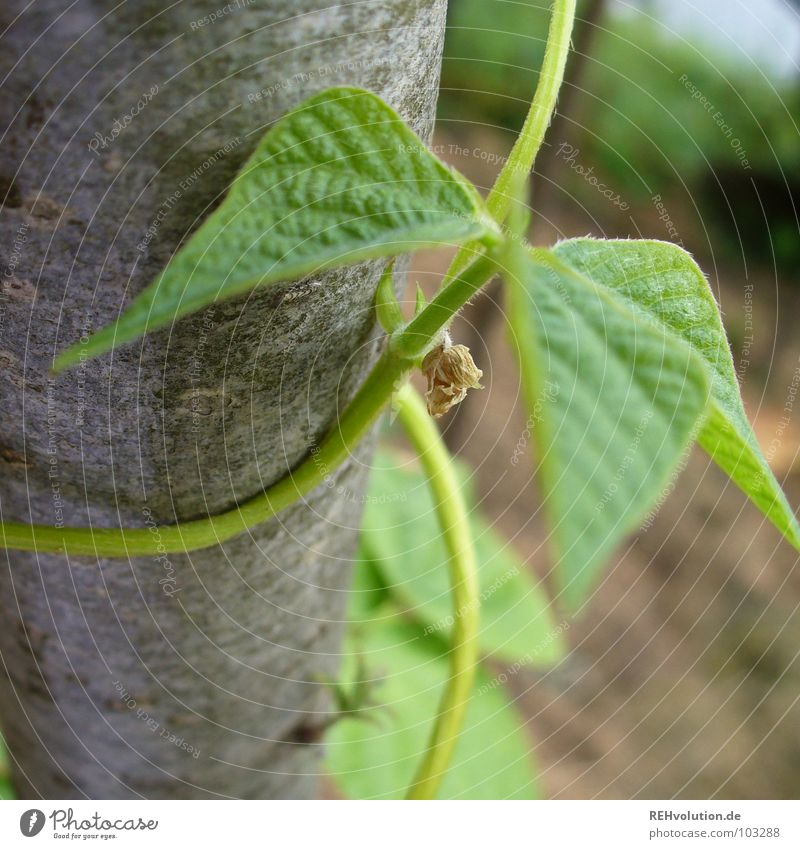 Beans in the eyes Growth To hold on Leaf Vegetable garden Spiral Plant Green Tree bark Creeper Summer Garden Park Tree trunk Coil climbing plants Tall