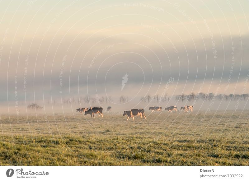 ground fog Nature Landscape Sky Clouds Sunrise Sunset Sunlight Weather Beautiful weather Fog Tree Grass Meadow Farm animal Cow Herd Gold Gray Green Colour photo