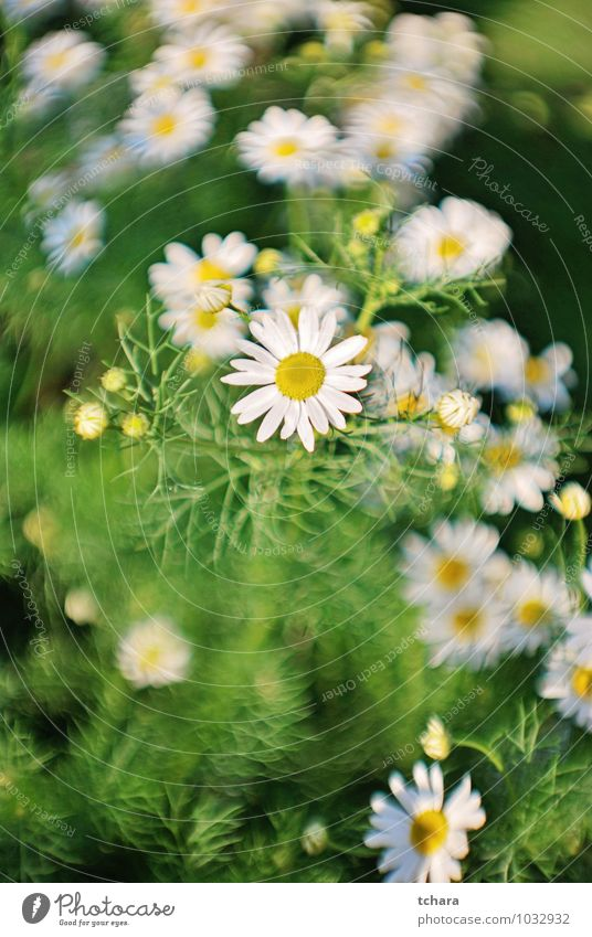 Loves me, Loves me not Nature Plant Beautiful Green White Summer Flower Yellow Meadow Grass Blossom Spring Healthy Garden Bushes