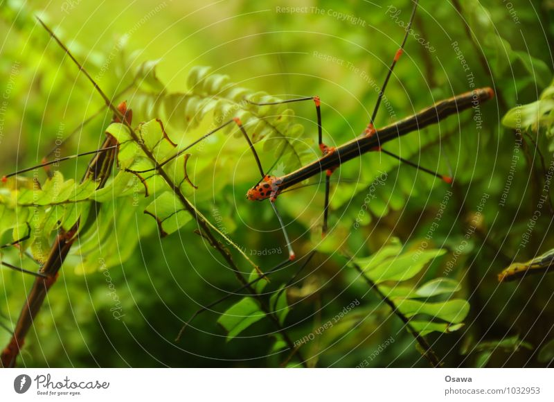 stick insect Animal Insect ghostly fright phasmids Virgin forest Green Nature Leaf Fern Pteridopsida Legs Feeler Locust Copy Space top Shallow depth of field