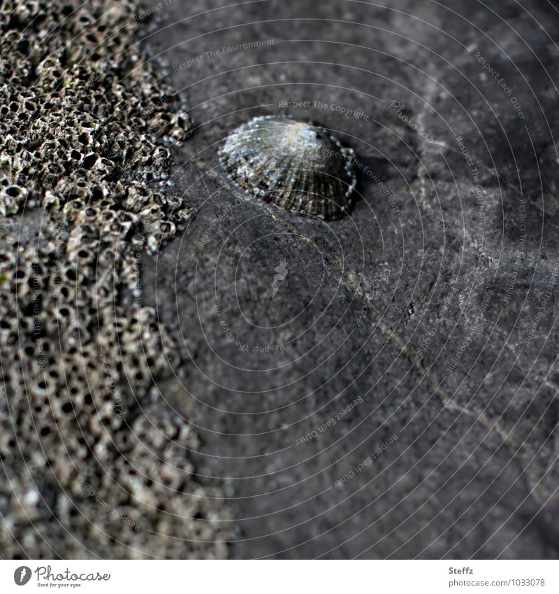 retro | petrified Nature Stone Old Gray Stony Stone block Mussel shell Shell-shaped Fossil Primitive times Subdued colour Exterior shot Deserted