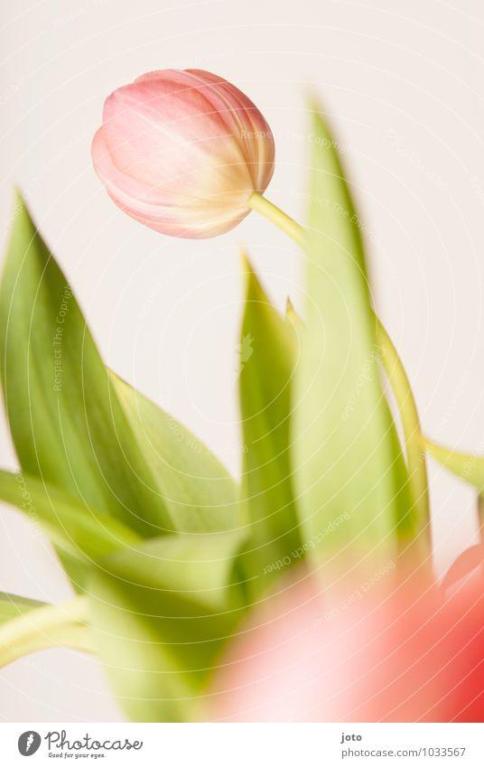 tulipa II Beautiful Life Harmonious Fragrance Decoration Feasts & Celebrations Valentine's Day Mother's Day Birthday Plant Spring Flower Tulip Leaf Blossom