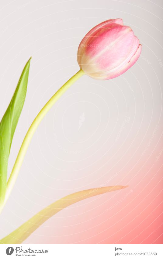 tulipa Senses Mother's Day Birthday Plant Spring Flower Leaf Blossom Tulip Blossoming Fragrance Pink Uniqueness Idyll Life Pure Beautiful Surprise Transience