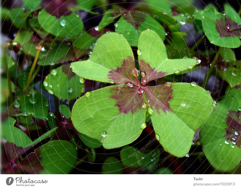 Lucky clover, clover, four-leaved, raindrop, forest soil Nature Plant Drops of water Rain Leaf Foliage plant Wild plant Compassion To console Attentive Sadness