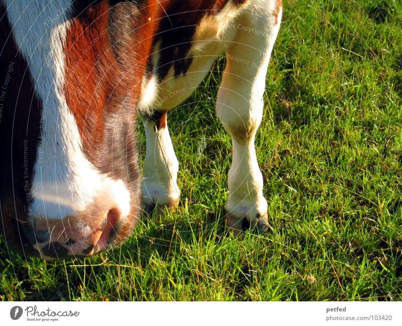 Nature White Green Vacation & Travel Black Animal Grass Legs Brown Pink Nose Lawn Alps 4 Switzerland