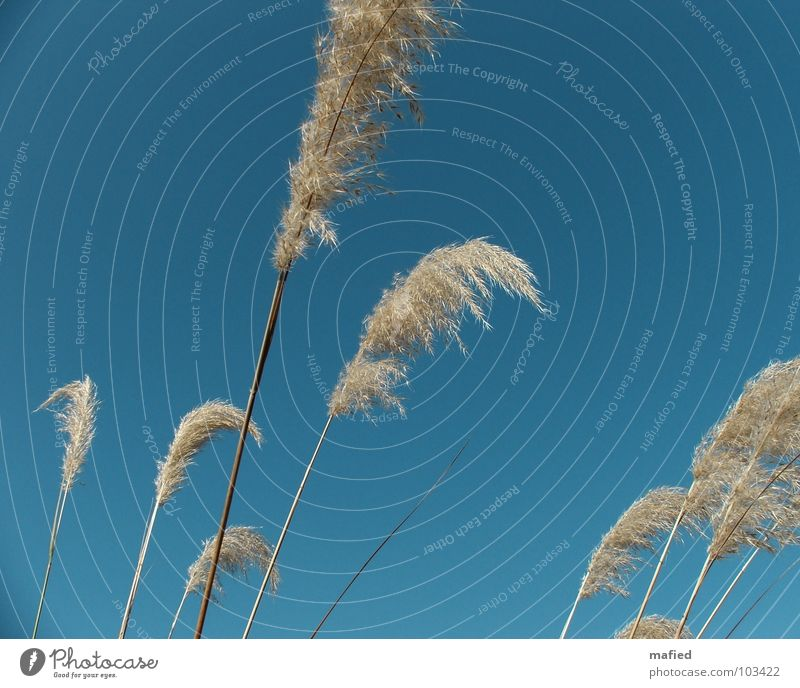 Sky Blue Grass Wind Soft Feather Painting (action, work) Common Reed Seed Caress Weigh Stagger Marsh grass